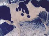 Крупный бык, корова, телочки