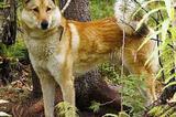 Лайка зап. сибирская от высокопордных родителей